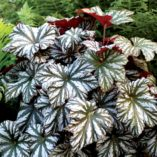 Begonia 'Cool Breeze Glacier'
