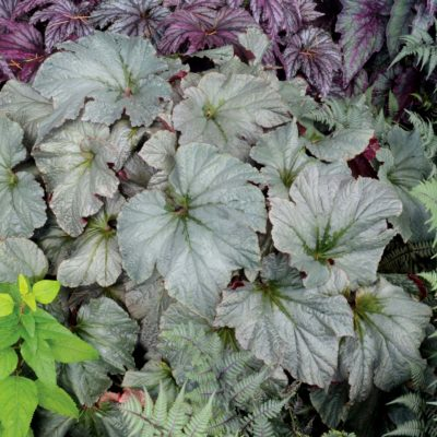 Begonia 'Cool Breeze Pewter'