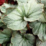 Begonia 'Cool Breeze Pewter'