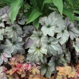 Begonia 'Cool Breeze Rouge'