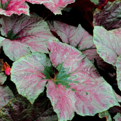 Begonia 'Cool Breeze Rouge'