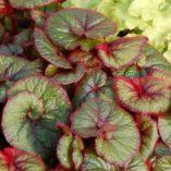 Begonia 'Curly Fireflush'