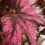 Begonia DANCING™ PEACOCK