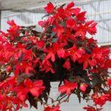 Begonia DAYSTAR™ Hot Coral
