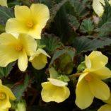 Begonia DAYSTAR™ Yellow