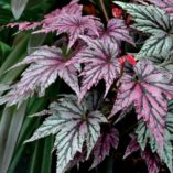 Begonia 'Garden Angel Blush'