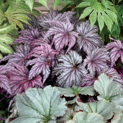 Begonia 'Garden Angel Plum'