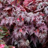 Begonia 'Garden Angel Plum'