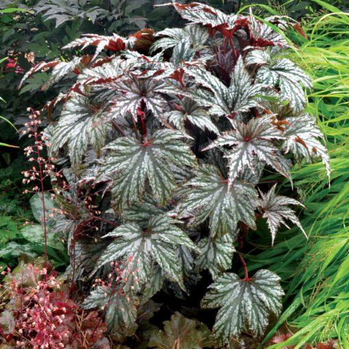 Begonia 'Garden Angel Silver'