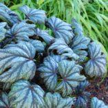 Begonia 'Metallic Mist'