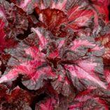Begonia NAUTILUS™ Exotic