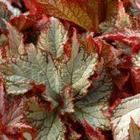 Begonia NAUTILUS™ Moonlit