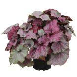 Begonia NAUTILUS™ Ruby