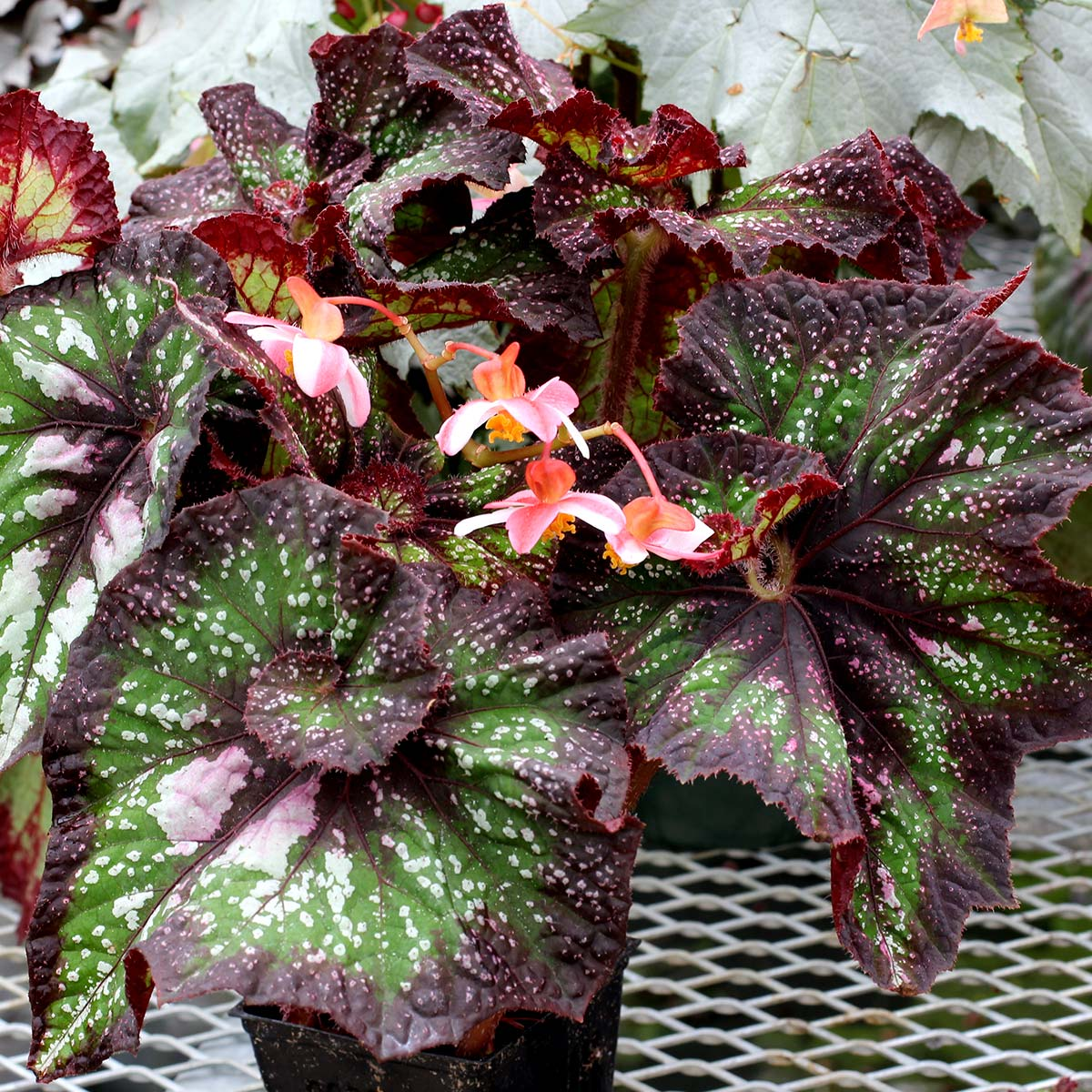 Begonia NAUTILUS™ Supreme