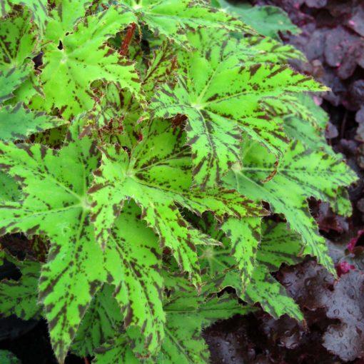 Begonia 'Phoe's Cleo'