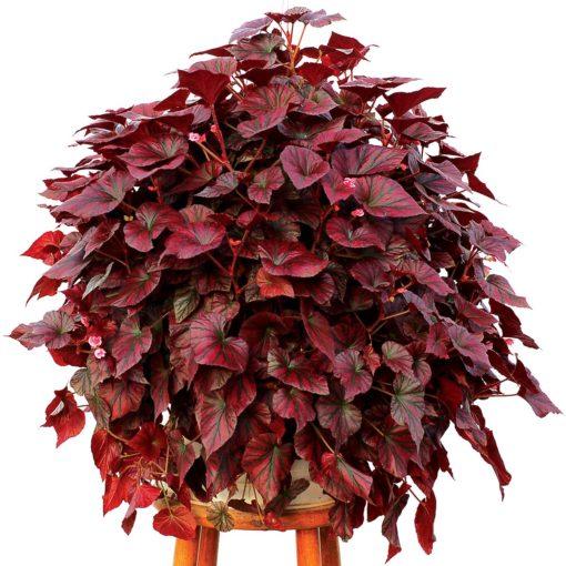 Begonia REVELATION™ 'Maroon'