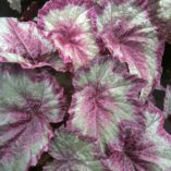 Begonia SHADE ANGEL™ 'Aurora'