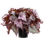 Begonia SHADE ANGEL™ Pearl