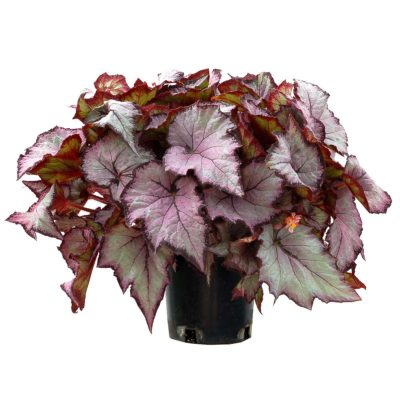 Begonia SHADE ANGEL™ 'Pearl'