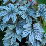 Begonia 'Silver Splendor'