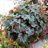 Begonia SPECTRE™ Silver