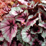 Begonia T REX™ 'First Blush'
