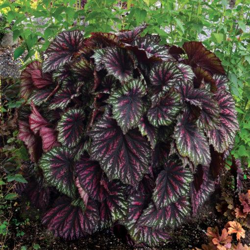 Begonia T REX™ 'Painter's Palette'