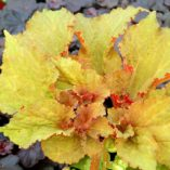 Begonia 'Wineuma'