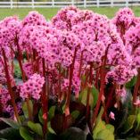 Bergenia 'Spring Fling'