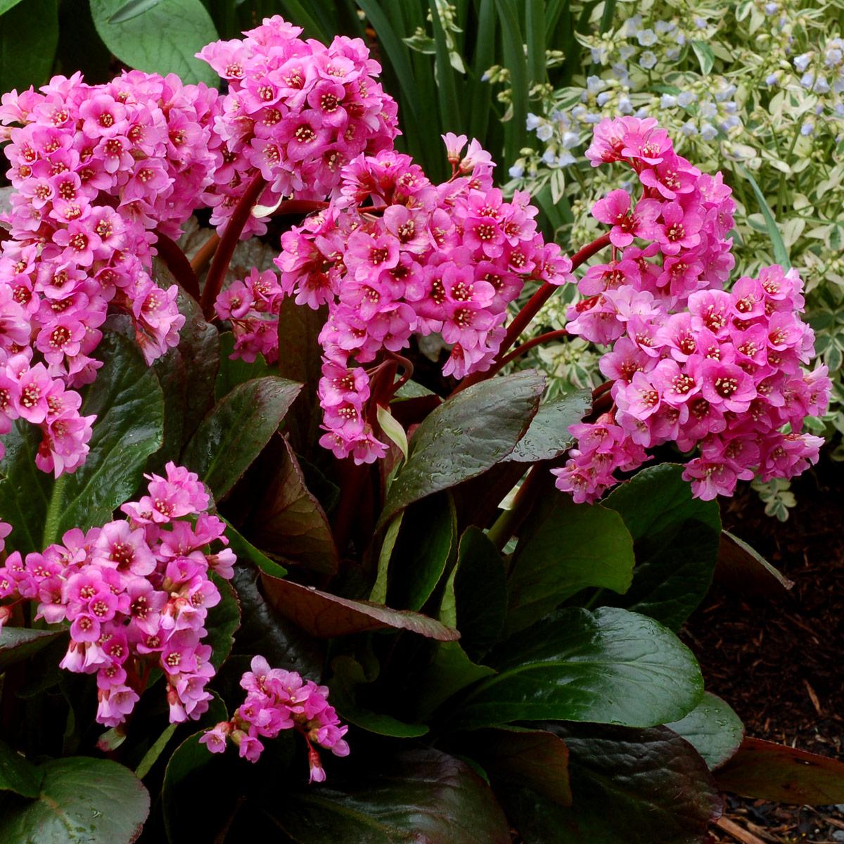 Bergenia 'Spring Fling' | TERRA NOVA® Nurseries, Inc.
