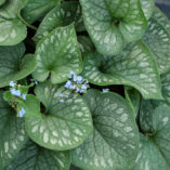 Brunnera 'Emerald Mist'