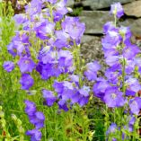 Campanula 'Blue-Eyed Blonde'