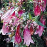 Campanula 'Cherry Bells'