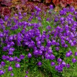 Campanula 'Jelly Bells'