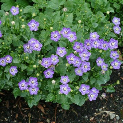 Campanula 'Royal Wave'