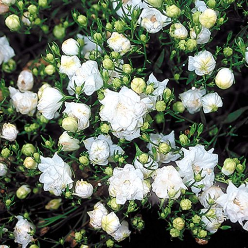 Campanula 'Warley White'