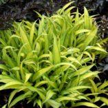 Carex 'Banana Boat'