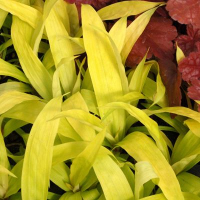 Carex 'Lemon Zest'