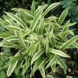 Carex 'Treasure Island'