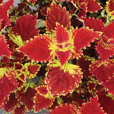 Coleus COLOR CLOUDS™ 'Be Mine'