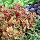 Coleus COLOR CLOUDS™ 'Honey Pie'