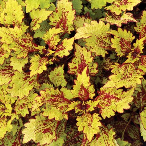 Coleus COLOR CLOUDS™ 'Honeybear'