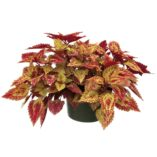 Coleus COLOR CLOUDS™ 'Spicy'