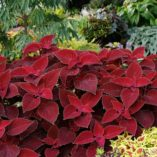 Coleus COLOR CLOUDS™ 'Valentine'