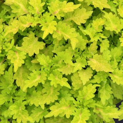 Coleus COOL VIBES™ 'Mellow'
