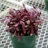 Coleus FANCY FEATHERS™ Black