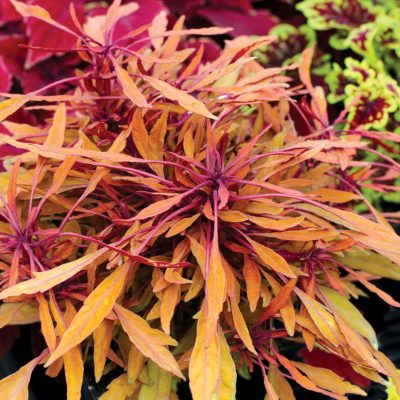 Coleus FANCY FEATHERS™ Copper