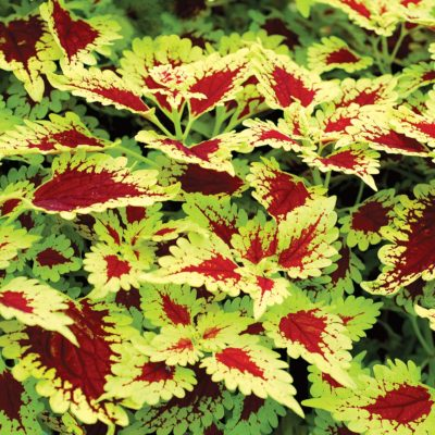 Coleus FLYING CARPET™ 'Thriller'