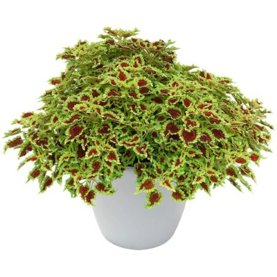 Coleus FLYING CARPET™ 'Zinger'