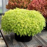 Coleus HIPSTERS™ 'Jillian'